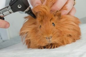 dr_examining_guineapig